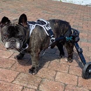 rolwagen , rolstoel hond.png