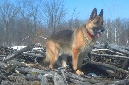 German Shepherd Breeder in Minnesota