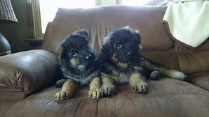 German Shepherd Breeder Minnesota