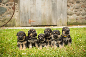 Minnesota German Shepherd puppies