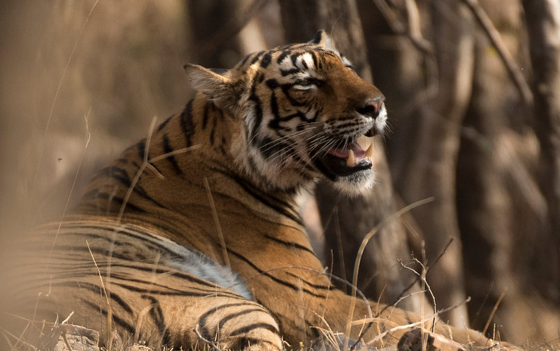 tiger Arrowhead Ranthambore_WEB-5437.jpg