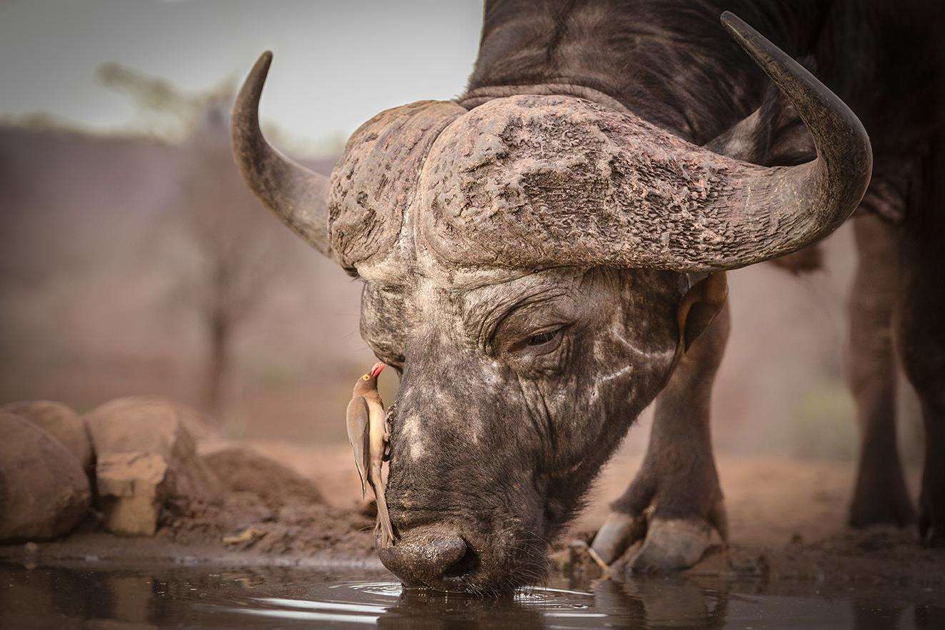 zimanga 2016 buffalo edit-2477_WEB.jpg