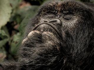 What Is Seeing A Wild Gorilla Worth?