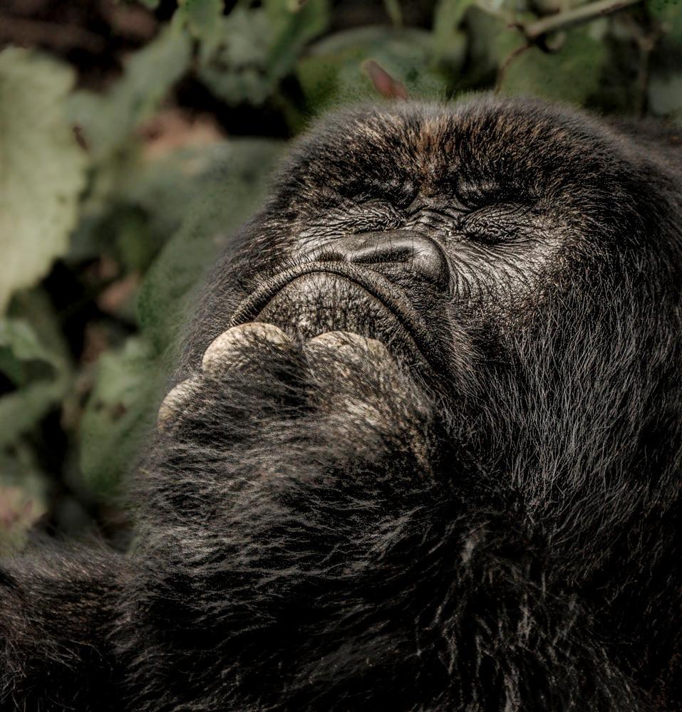 Rwanda Gorillas EDIT-7109Mountain Gorilla, Rwanda, Volcanoes National Park.jpg