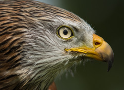 Trai Anfield Photography_red kite yellow
