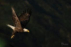 bald eagle in flight Seward-0359_WEB_WM.