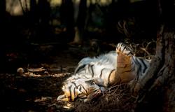 India bengal tiger_WEB_edit-3906.jpg