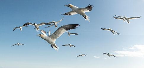gannets Farnes_WEB-8038.jpg