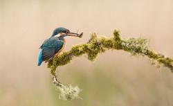 kingfisher2-2627.jpg