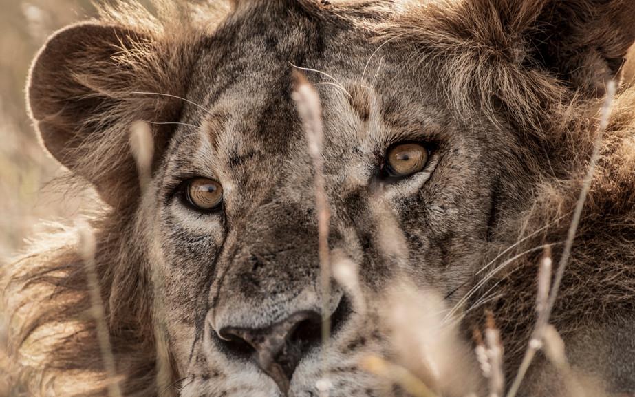 Trai Anfield lion_DSC2696 .jpg
