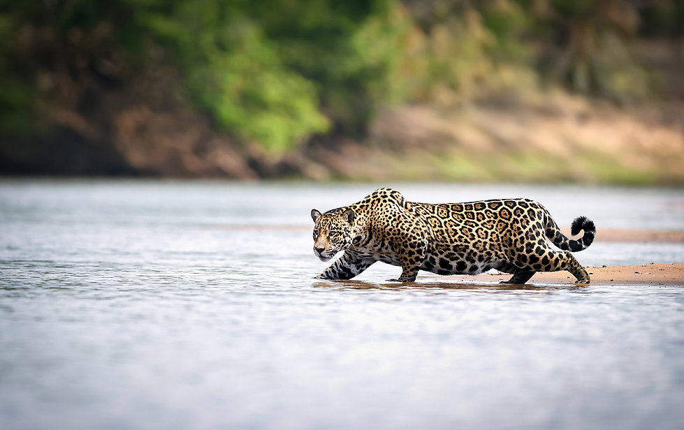 Brazil Photography Safari Trai Anfield Photography jaguar
