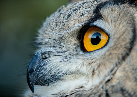 Raptors workshop image eagle owl