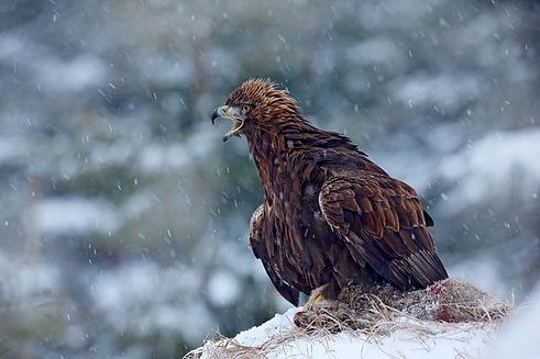 Finland Photography Safari_Trai Anfield Photography golden eagle