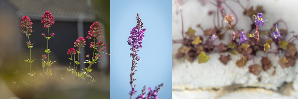 Trai Anfield Photography Safaris | Rewilding | Conservation | valerian | purple toadflax | ivy leaved toadflax