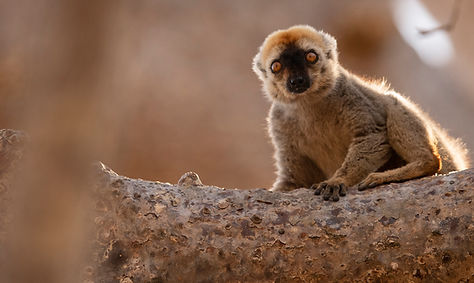 brown lemur Madagascar-8480.jpg