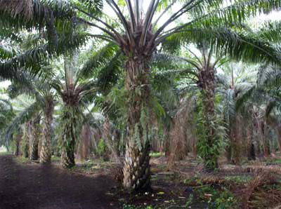 palm-oil A