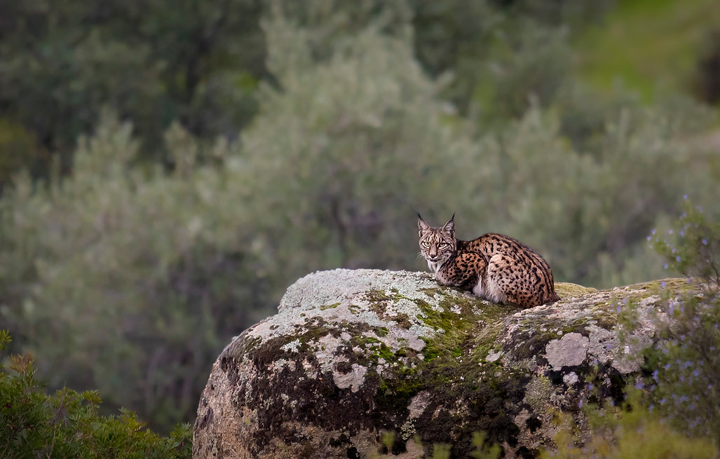 Spain_lynx©_Wildpixtravel_WEB_copy.jpg