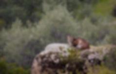 Spain_lynx©_Wildpixtravel_WEB_copy.jpg