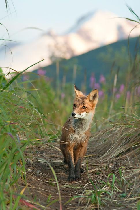 KWL Fox on the Trail.jpg