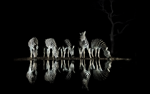 Zebra Night Reflections