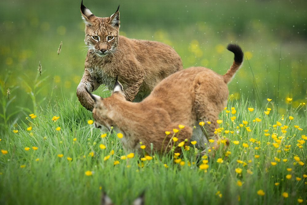 British Wildlife Photography Workshop | lynx | action | Trai Anfield