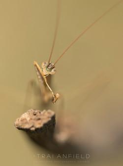 Trai Anfield Enlightened Photographic Safaris macro mantis-6188WEB.jpg