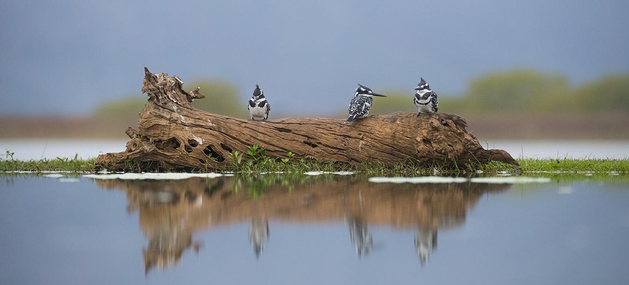 Zimanga pied kingfishers edit-6861_WEB.jpg