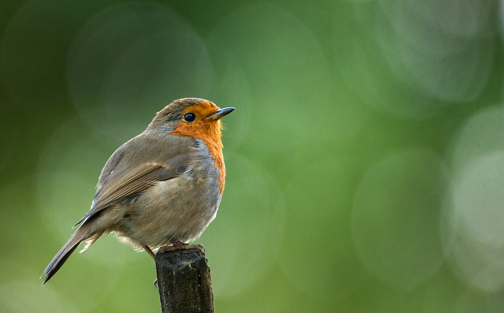 Trai Anfield Photography Safaris | Re-Wilding | Conservation | Robin