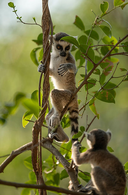 ringtailed lemur babies Madagascar-3103.