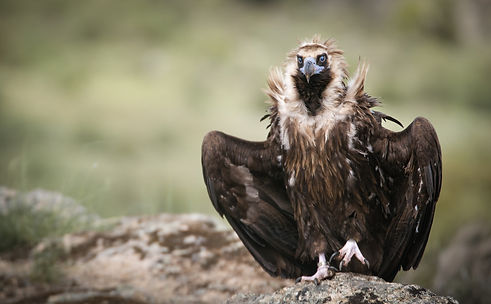 Spain vulture wings spread_WEB.jpg