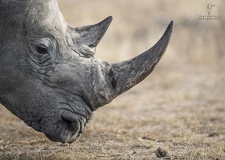 trai anfield photographic safaris rhino