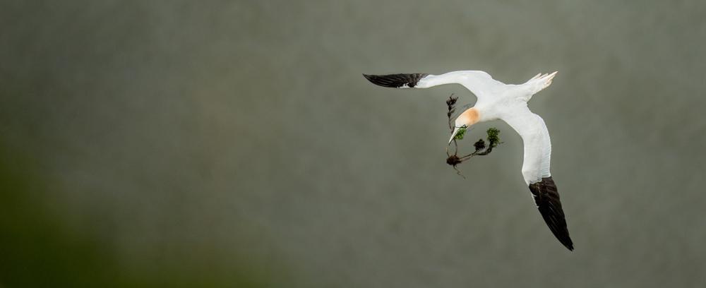gannet in flight-8310.jpg