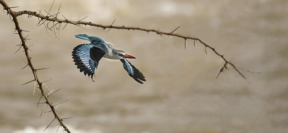 Ngere Serian kingfisher less branch edit-0089_WEB.jpg