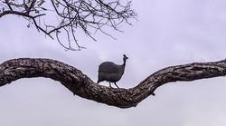 Zimanga guinea fowl edit-6444_WEB.jpg