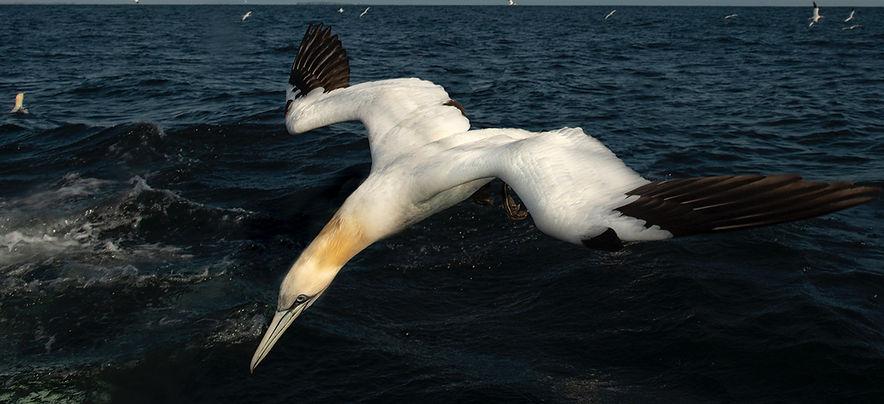 gannets Farnes-8222_WEB_edited.jpg