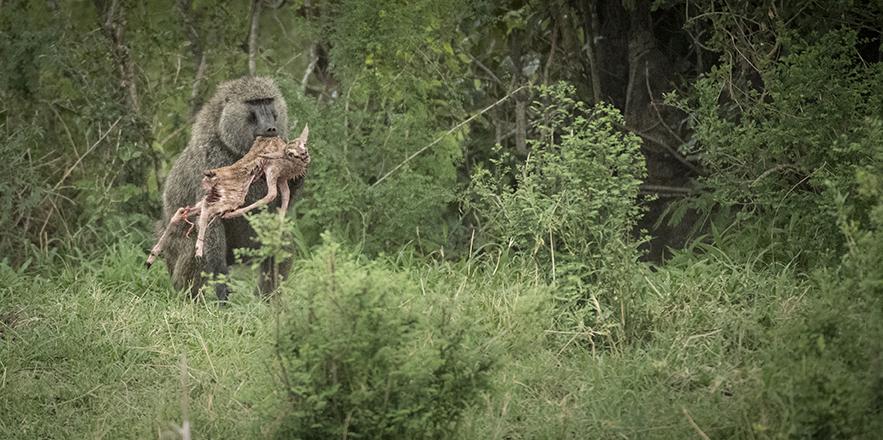 Serian Serengeti baboon kill-2191_WEB.jpg