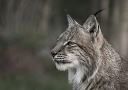 Trai Anfield Photography Safaris Lynx_WE