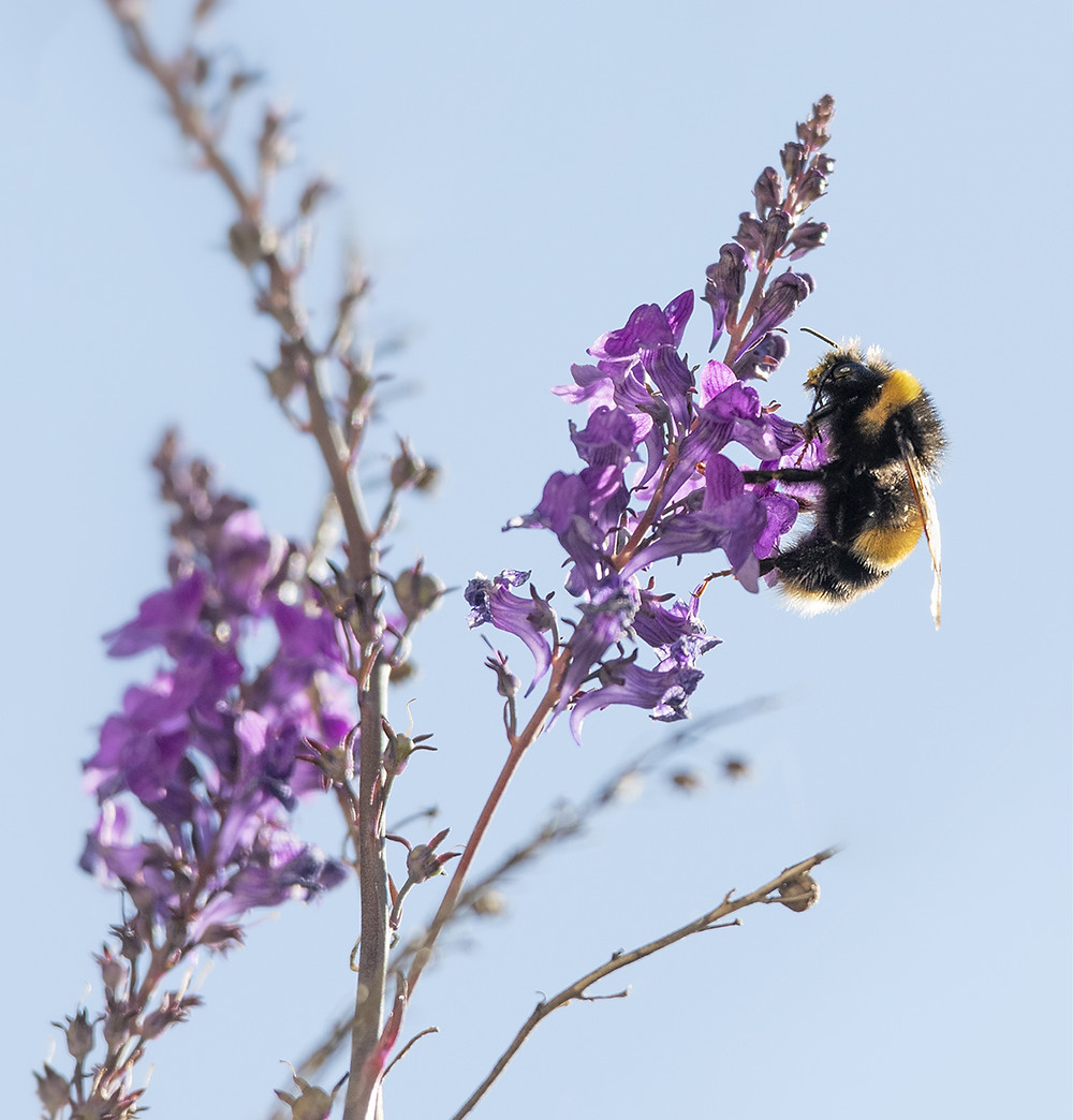 Trai Anfield Photography Safaris | Rewilding | Conservation | bee on toadflax
