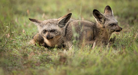 Mara Predators bat eared fox_WEB-8165.JP