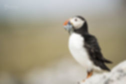 Farne Islands puffin with sand eels
