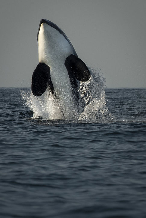 orca breach Seward-5501_WEB.jpg