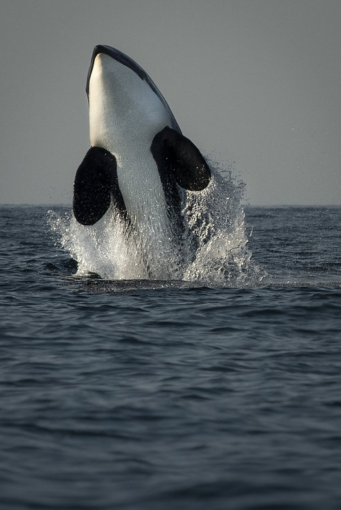 orca breach Seward-5501_WEB.jpg