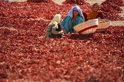 chili farmers Ranthambore area-2_WEB50