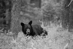 US black bear b&w-3515.jpg