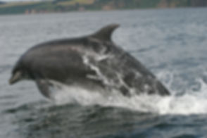 bottlenose-dolphin-590537.jpg