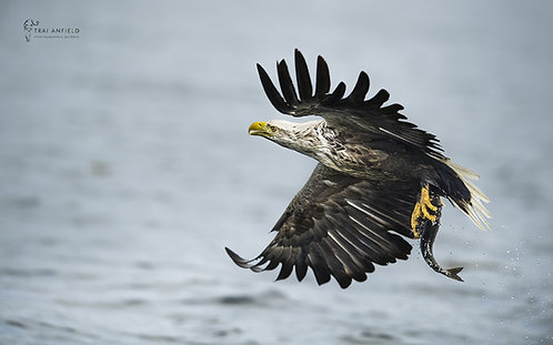 Best of British - White Tailed Eagle