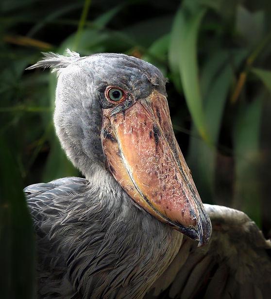 Uganda shoebill.JPG