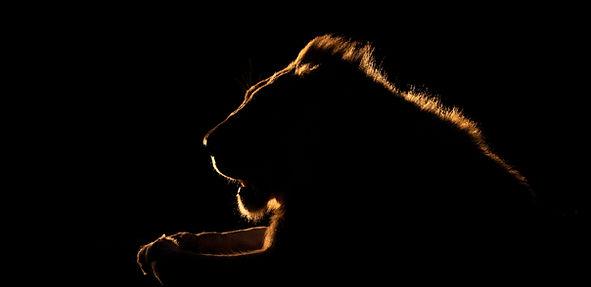 lion backlight, Zimanga-1115.jpg