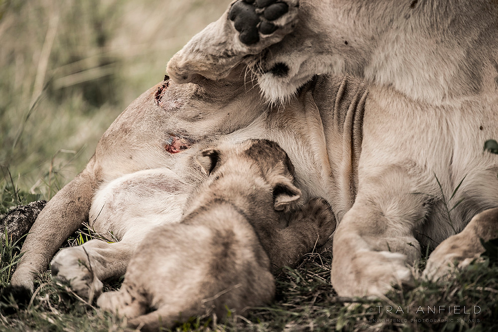 a mother tends to her wounds while suckling her cub