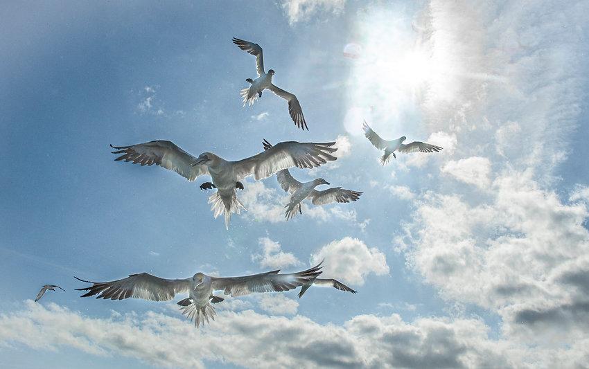 gannets Farnes_WEB-7841.jpg